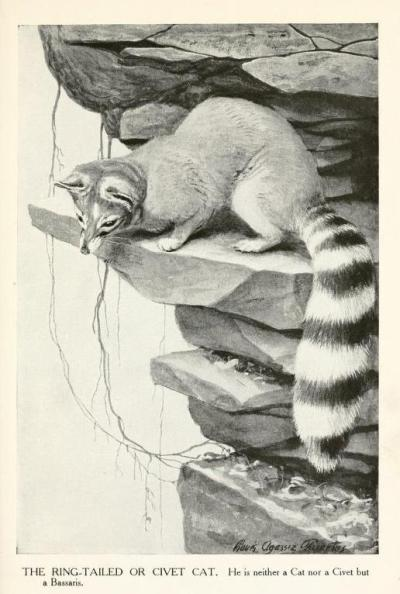 "The Ring-Tailed or Civet Cat - ""He is neither a Cat nor a Civet, but a Bassaris."" The Asian civets' similar appearance to the ringtail led to ringtails being misidentified as a similar creature by some. The ""cat"" added to the name in some vernaculars is representative of the agile, stealthy, well-balanced activity of the ringtail - their big bushy tail may not be prehensile like some of their relatives (the potos), but it serves as a very effective counterbalance while navigating the trees and desert rocks. The Burgess Animal Book for Children. Thornton Burgess, 1920."