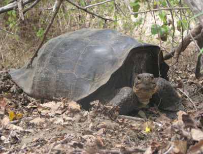 discoverynews:  'Extinct' Giant Tortoise Found on Remote Island A species of giant tortoise believed extinct for 150 years was actually just moved from its original home and now lives on the volcanic slopes of the northern shore of Isabela Island in the Galapagos archipelago. Read More
