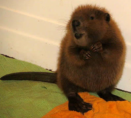 bunnyfood:  Baby Beaver  It looks so cheeky!