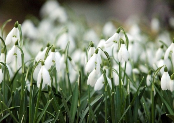 I am a fan of snowdrops (the species in the genus Galanthus). I mean, after a long winter, who wouldn't be? I eagerly await their reappearance at the Garden each late winter, and have planted them in my yard over the past few falls, too. Yet somehow I had never learned that one of the best ways to propagate these cheery little harbingers of spring is to dig them up, divide them, and replant them each spring just after they have finished blooming. You learn something new every day. ~AR