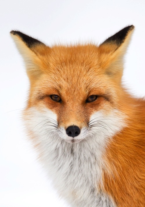 earth-song:  Red Fox Portrait by ~gregster09