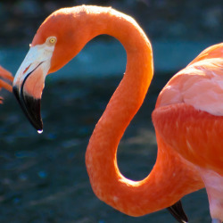 flamingo by raspberrytart on Flickr.