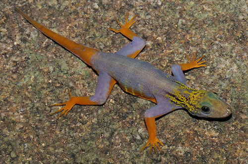 aviculor:  uncouthmoxie:  stephaniesearches:  neiture:  A Psychedelic Gecko (Cnemaspis psychedelica), a new species discovered in Greater Mekong region | image by L Lee Grismer  Raddest Gecko ever.  need, no matter how mean!  Fuck, how do I go to China and get on this species-discovery bandwagon?