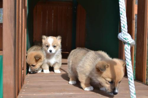 Corgi puppies!  画