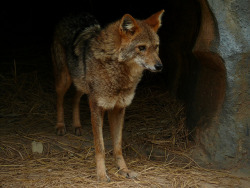 This beautiful canine is called the golden jackal (Canis aureus) and is indigenous to parts of Africa, Europe, and Asia. They're not a fairly picky animal, eating anything from fruits to insects and even small ungulates. They are however, rather social and live in packs of two to five, but have been known to have the occasional 'loner' so to speak. These packs are normally a mating pair, and sometimes their offspring. These packs can dominate other, smaller canid species. Photo credits: Kowari