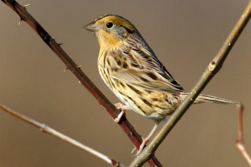 Le Conte's Sparrow by Steve Gifford by Steve Gifford - IN on Flickr.