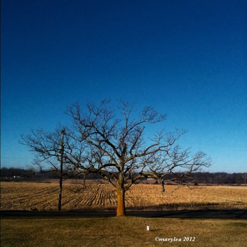 Amazingly mild and beautiful January day! January 10, 2012. #january #rural #midwest #mildweather #2012 #field #mlm #maryleafaves #Michigan #tree #oak #cornfield #NoSnow! (Taken with instagram)