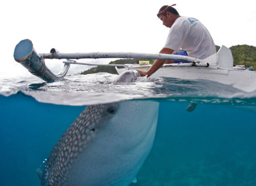 brooklynmutt:  Whale sharks feeding from the hands of fishermen in the Philippines (Telegraph)   Wow! Its more fun indeed!