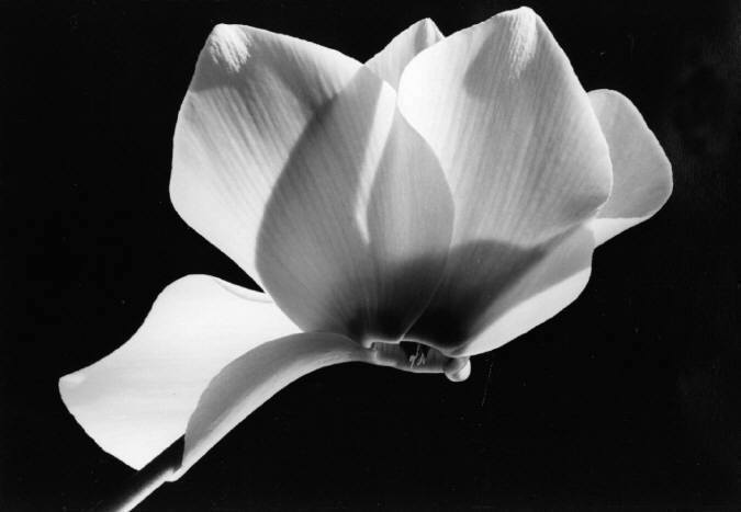 Yasuhiro Ishimoto Cyclamen 1987 | Gelatin silver print | 8 x 11 in.  Later print. Signed in pencil and embossed by artist on print margin recto. Illus. HANA, page 112.