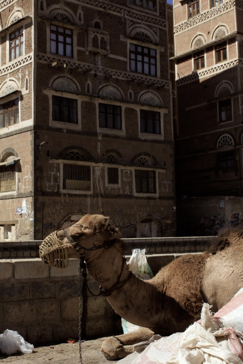 Even the camel on my street gets to enjoy the peace and some winter sunshine in Sana'a.