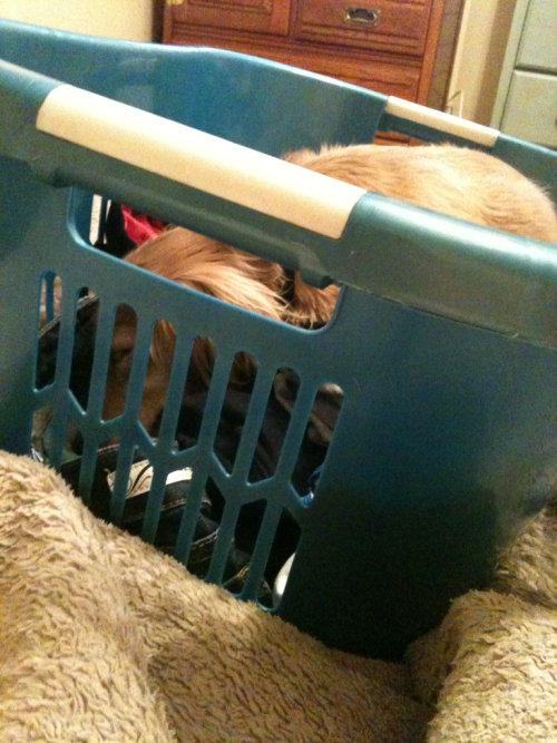 Caught a snoozing ween in my laundry basket…