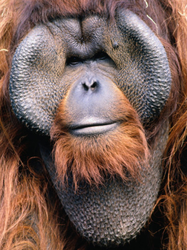 funkysafari:  Orangutan (Pongo Pygmaeus), Indonesia    by Mark Newman