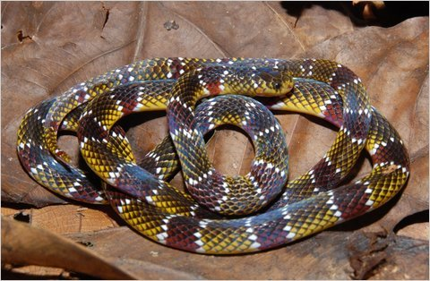 Micrurus langsdorffi, a poorly known coral snake that doesn't look like most people's idea of a coral snake. Found by researchers in Peru. (via: Scientists at Work - NY Times) (photo: Alvaro del Campo)