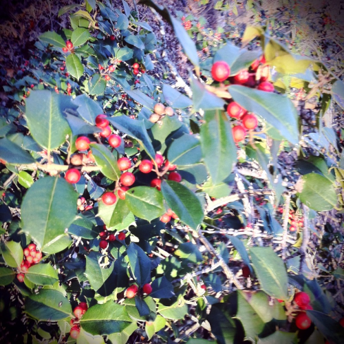 fotograffic:  PhotoADay45: Holly leaves from Sunday's hike in the Pine Barrens.  #naturalNJ