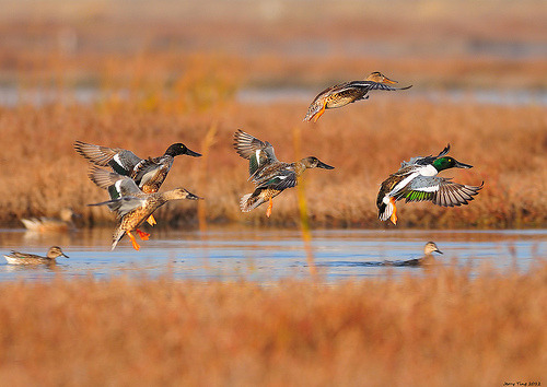 dendroica:  Northern Shovelers (by Jerry Ting)
