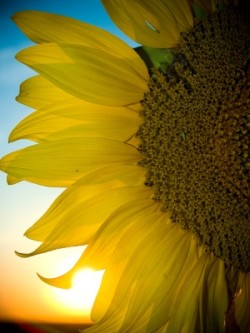 A pretty sun flower. Click yes, I follow back :)