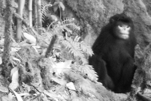 "FIRST EVER PICTURES OF RECENTLY DISCOVERED MONKEY  In 2010 researchers described a new species of primate that reportedly sneezes when it rains. Unfortunately, the new species was only known from a carcass killed by a local hunter. Now, however, remote camera traps have taken the first ever photo of the elusive, and likely very rare, Myanmar snub-nosed monkey (Rhinopithecus strykeri), known to locals asmey nwoah, or 'monkey with an upturned face'. Locals say the monkeys are easy to locate when it rains, because the rain catches on their upturned noses causing them to sneeze.""These images are the first record of the animal in its natural habitat,"" said Ngwe Lwin, a native to Myanmar, who first recognized that the primate may be a new species. ""It is great to finally have photographs because they show us something about how and where it actually lives.""Still, no scientist has ever seen a living individual and the monkey's life is obscured by the little-explored forests of northern Myanmar (also known as Burma). Just setting the camera traps in April of last year proved incredibly difficult with the expedition battling both snow and rain.""We were dealing with very tough conditions in a remote and rugged area that contained perhaps fewer than 200 monkeys,"" explains photographer Jeremy Holden, who led the team. ""We didn't know exactly where they lived, and had to rely on information gathered from hunters; I didn't hold out much hope.""Still a month after setting up the camera traps, the scientists had the first photographic evidence of a living Myanmar snub-nosed monkey, including family groups.""We were very surprised to get these pictures,"" said biologist Saw Soe Aung. ""It was exciting to see that some of the females were carrying babies—a new generation of our rarest primate.""Snub-nosed monkeys are imperiled by hunting and trapping, but it may be logging that ultimately does them in. In 2010 Frank Momberg, FFI's Regional Program Development Coordinator in the Asia Pacific, told mongabay.com that hunting in the remote region had recently moved beyond subsistence only: with Chinese logging roads infiltrating the area there has been a rise in commercial bushmeat hunting. At the time, Momberg also warned that the logging roads were expected to move into Myanmar snub-nosed monkey territory by 2011.Myanmar has one of world's the highest deforestation rates, which is at least partly driven by China's rising demand for commodities. Between 1990 and 2010, Myanmar lost 19 percent of its forest cover, or around 7,445,000 hectares, an area larger than Ireland.Next month, FFI and Myanmar's Ministry for Environmental Conservation and Forest (MOECAF) plan to meet to develop an action plan to protect the Myanmar snub-nosed monkey.While the photos may not be award-winners, Holden says they bring to life the scarcity of the new primate.""The images are poor quality compared to what we are now used to seeing from wildlife photographers, but this somehow examplifies the fact that these monkeys are rare, mysterious, and on the brink,"" he says."