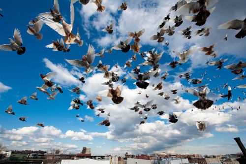 mass exodus of the pigeons
