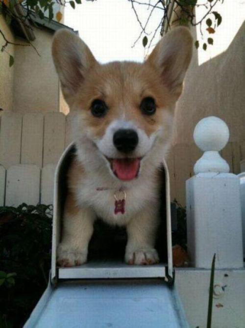 theclearlydope:  Aww man it's just a Corgi puppy. I was hoping to finally get in my Sports Illustrated Football Phone.