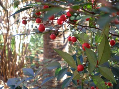 lewisginter:  Nandina can be found on the Woodland Walk. (Photo by Jonah Holland)