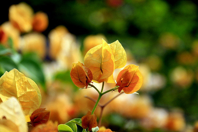 Yellow, Green and Bokeh ! by AgniMax on Flickr.