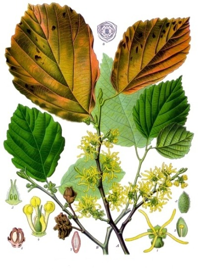 "earthshealing:  Witch Hazel The name Witch in witch-hazel has its origins in Middle English wiche, from the Old English wice, meaning ""pliant"" or ""bendable"".  Witch hazel is mainly used externally for sores bruises swelling  The main constituents of the extract include tannin, gallic acid, catechins, proanthocyanins, flavonoids (kaempferol, quercetin), essential oils (carvacrol, eugenol, hexenol), choline, and saponins. *Distilled witch hazel sold in drug stores and pharmacies typically contains no tannin. Witch hazel hydrosol is used in skin care. It is a strong anti-oxidant and astringent, which makes it very useful in fighting acne.   Natural remedy for: psoriasis eczema aftershave applications ingrown nails prevent sweating of the  face cracked or blistered skin insect bites poison ivy varicose veins hemorrhoids  childbirth wounds sun burn ***Hence the expression of Witches to alter, bend matter, to access Earth and Universal lay-lines/doorways of creation to manifest"