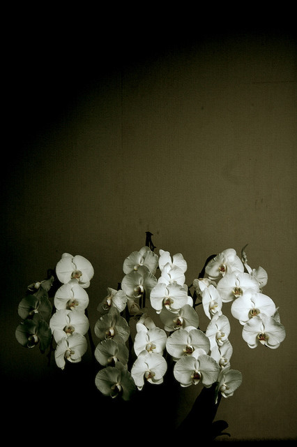 Phalaenopsis aphrodite on Flickr.