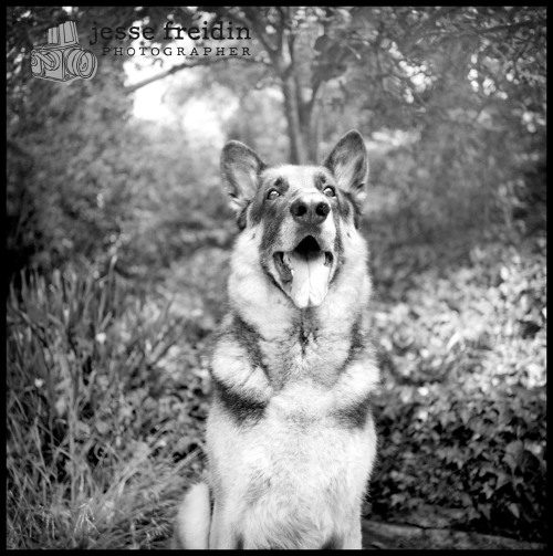 Breed of the Month (Jan): German Shephards! Book your 2012 Photography Session in January (valid all year), save $500. www.jessefreidin.com