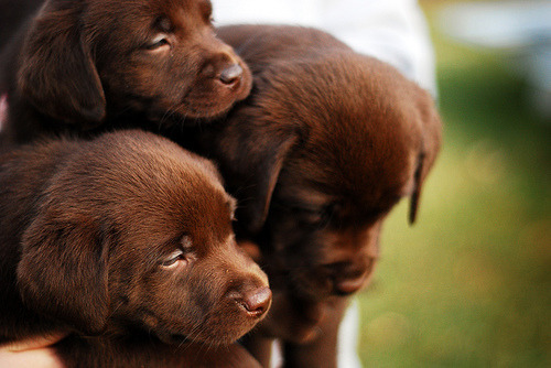 Look at these three little beautiful brown puppies. Aren't they cute?