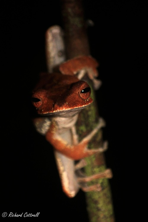 Unknown Tree Frog in Sabah, Borneo. This one sat beautifully still for me on my way through, the muddiest night walk I have ever been on.