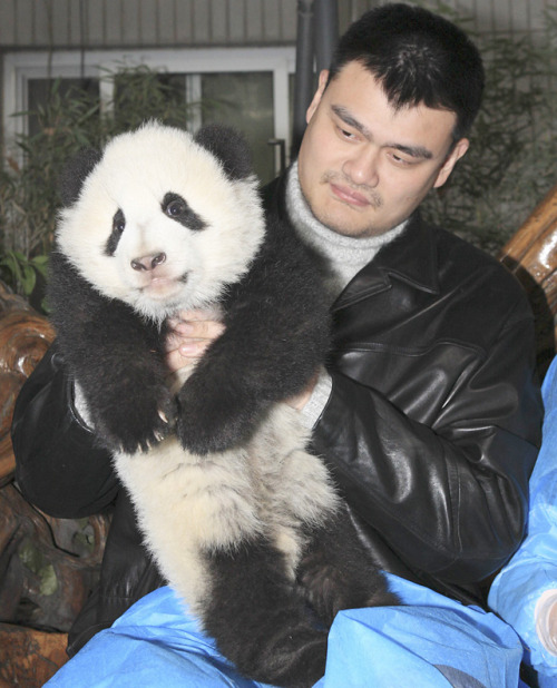 siphotos:  Former NBA player Yao Ming lifts up a giant panda cub at Chengdu Research Base in Chengdu, Sichuan province. Yao came to the research base after attending the launch ceremony of Panda Valley protected area, where the first batch of giant pandas has been resettled from captivity for wildlife training. (REUTERS/China Daily) GALLERY: Athletes and Pandas | Rare Photos of Yao MingSI VAULT: Yao has given NBA boost on two continents (2.10.03)
