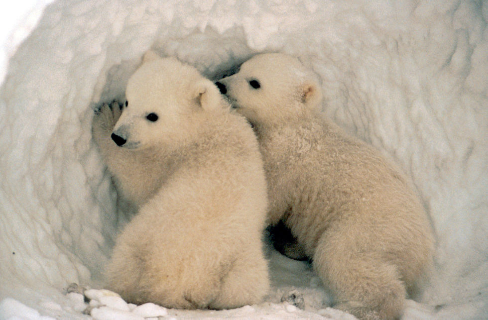 SOOOO adorable. From a collection of polar bear images from U.S. Fish and Wildlife Service, Alaska.