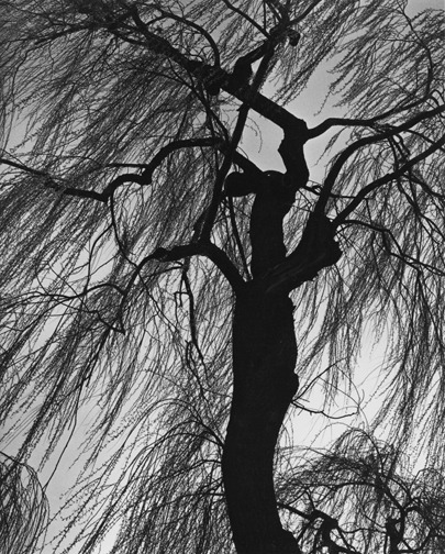 brett weston, weeping willow, 1975