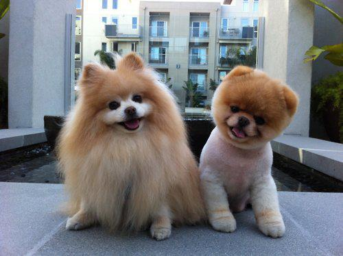 Two beautiful pomeranian puppies with different hair cuts. Which do you like better?