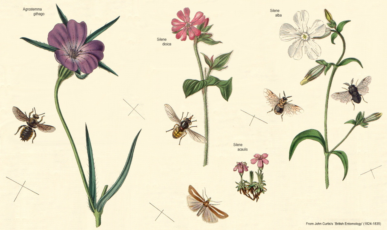 Shown here are members of the Caryophyllaceae family, also known as the Pink family. They can be identified by their notched petals.
