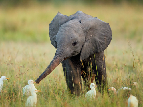[image description: a baby elephant stands in a field of grass, surrounded by small egrets. It points its trunk inquisitively at one of the birds]  OKAY SO THE WOMAN SAT NEXT TO ME SAYS THESE ARE EGRETS I KNOW I HAVE A FUCKING AWFUL TRACK RECORD WITH BIRDS SO I AM SHIFTING THE BLAME TO THIS ANONYMOUS PERSON NOW HERE IS A PICTURE ABOUT TRANSCENDING DIFFERENCES OR SOME SHIT ELEPHANTS AND BIRDS SHOULD NOT BE LIKELY FRIENDS BUT THIS LITTLE FELLA DON'T GIVE A TOSS ABOUT YOUR IDEAS OF RIGHT AND WRONG HE JUST LOVES HIS BIRDY FRIENDS AND NOBODY WILL GET IN THE WAY OF THAT ISN'T THAT BEAUTIFUL? WE SHOULD ALL LEARN FROM THIS GUY.