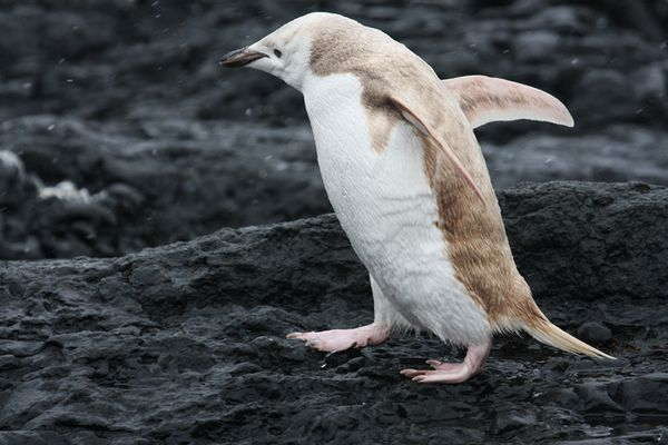 "(vía ""White,"" Albino-like Penguin Found in Antarctica)"