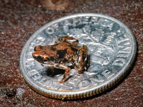 World's Smallest Frog Found—Fly-Size Beast Is Tiniest Vertebrate