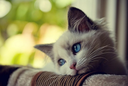 foreveralonecatlovers:  sad cat