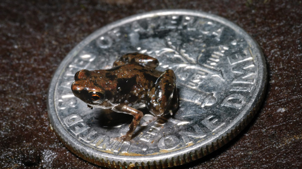 * A frog sits on a U.S. dime in this photo taken by Louisiana State University herpetologist Christopher Austin near the Amau River in Papua New Guinea, in this Aug. 2009 photo released by Louisiana State University. (Louisiana State University / Christopher Austin) Read more: http://www.ctv.ca/CTVNews/SciTech/20120111/tiny-frog-smallest-vertebrate-120111/#ixzz1jKBja930