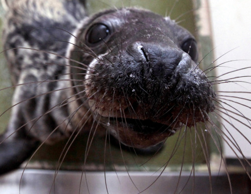 A recently rescued grey seal pup looks up from its indoor kennel at the RSPCA West Hatch Wildlife Center in Taunton, England, on Jan. 9. The wildlife center is currently dealing with a number of seals that were rescued from the coast after recent storms. Staff hope to release all the seals back into the wild by the spring.MNN's photos of the week