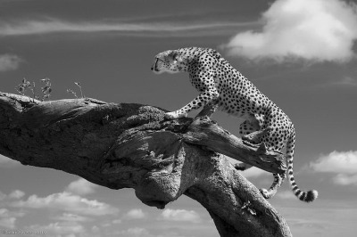 magicalnaturetour:  Cheetah on a Log by Cedric via mymodernmet :)