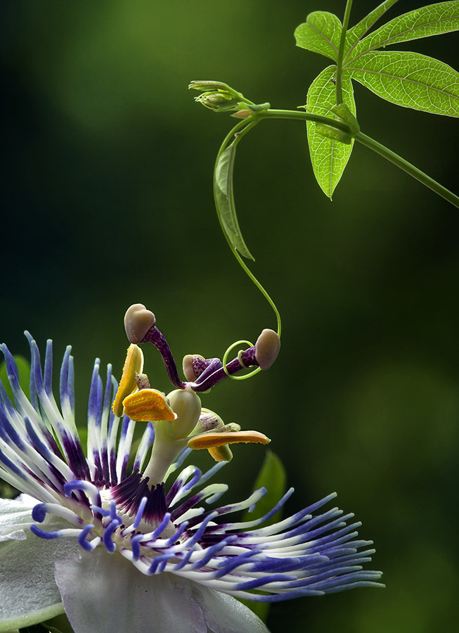 flame-of-desire:  Passiflora by Elena Eremina