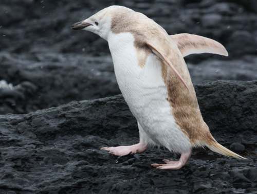 Albino-Like Penguin Spotted Tourists on an expedition spotted the rare bird that has a mutation that dilutes its feather pigments.