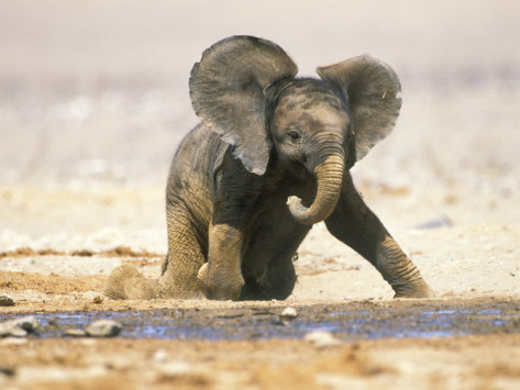 funkysafari:  African Elephant Calf on Knees by Water, Kaokoland, Namibia by Tony Heald    So cute!!   Life will be complete when I see my first baby elephant in the wild.