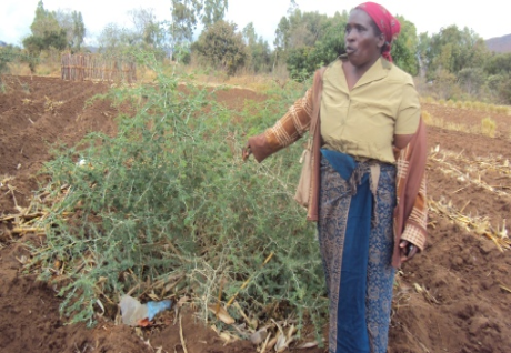 learnchange:  15 Jan 2012 A good thing: Nearly 150,000 smallholder farmers in Malawi are using fertiliser tree systems to help reduce the impacts of climate change. Read more: http://www.trust.org/alertnet/news/malawi-farmers-ease-climate-woes-with-fertiliser-trees/