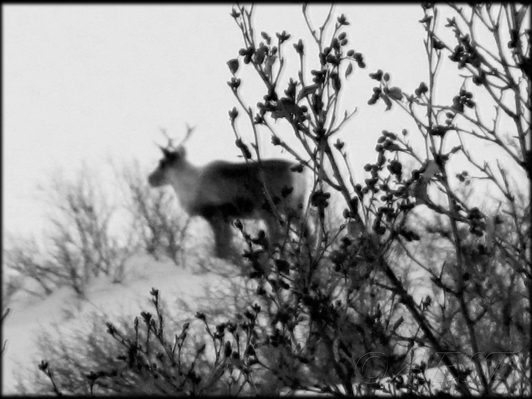 Caribou on the Denali Highway from January 2012. Let me know what you think!