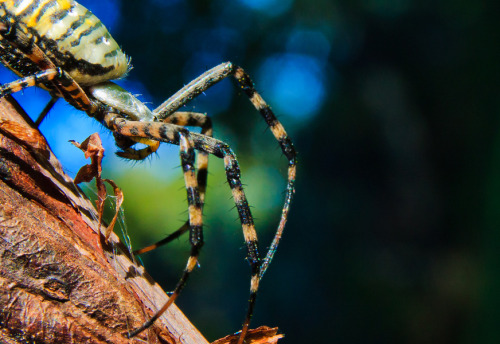 neiture:  Banded garden spider (Argiope trifasciata) | image by Ryan Griffiths
