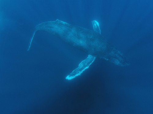 "Underwater Noise Disturbs Whales 120 Miles Away  Pulsing sounds made by technology used to monitor fish stocks may affect how baleen whales communicate, even at great distances.  Marine biologists working in Massachusetts waters noticed that humpback whales sang less during the fall of 2006, when a low frequency signal showed up in their recordings. They eventually traced the signal to some acoustic sensing equipment that was part of a scientific study off Maine's coast, about 120 miles from where they were studying seasonal changes in whale songs in Georges Bank.  The scientists recorded more frequent whale vocalizations (listen below) during the same time of year in 2008 and 2009, when the study's Ocean Acoustic Waveguide Remote Sensing equipment was not being used. This suggests the whales reacted to the low-level sounds by silencing their songs.  ""It's fascinating that we saw this behavioral response over such a large distance,"" said Denise Risch, a marine biologist at the National Oceanic and Atmospheric Association and lead author of research published Jan. 11 in PLoS One."