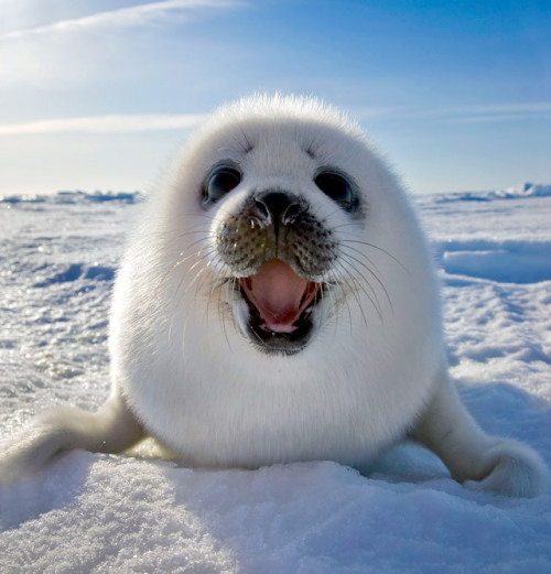 mabelmoments:  A Harp Seal smiles for the camera at Iles de la Madeleine in East Canada. Picture: Keren Su / Lonely Planet / Caters News